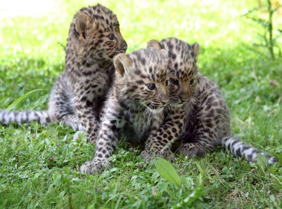 <p>File: Three Amur leopard cubs in Nesles, southeastern Paris</p>