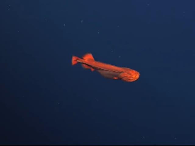 Investigadores filmaron un pez ballena hembra de color naranja brillante deslizándose por el agua