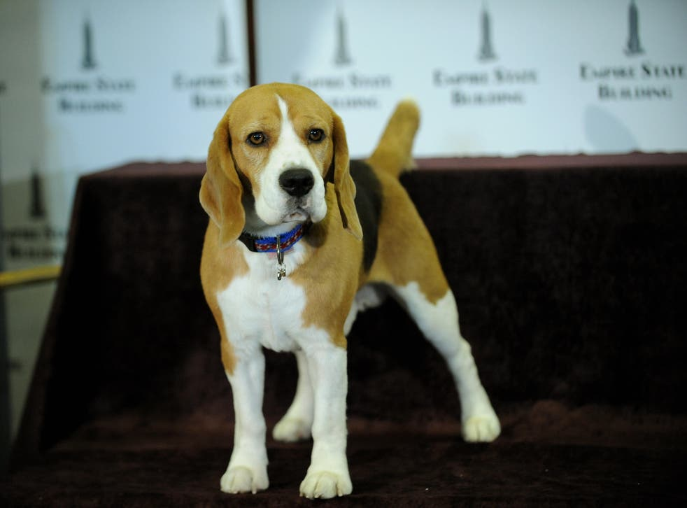 <p>File: Uno, a beagle, poses before a lighting ceremony at the Empire State Building</p>