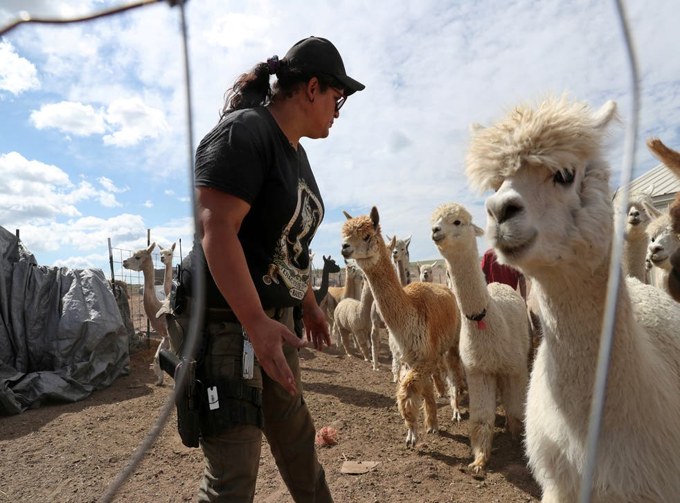 """<p>Bonnie Nelson, 34, helps sort sheared and un-sheared alpaca before starting another day of """"Shear-a-Palooza"""" at the Tenacious Unicorn Ranch in Westcliffe, Colorado</p>"""