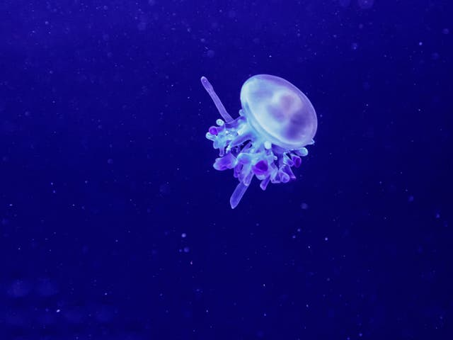 <p>Rhizostoma luteum jellyfish have been spotted around southern Spain</p>