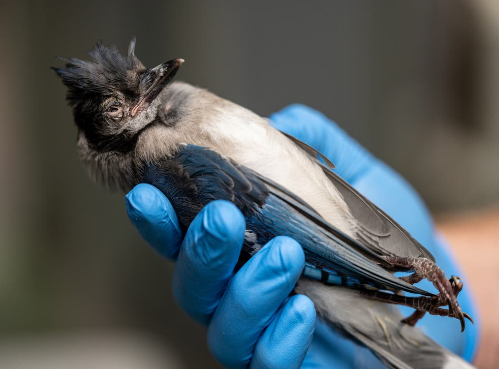 <p>The unknown illness made the bird's eyes swell up </p>