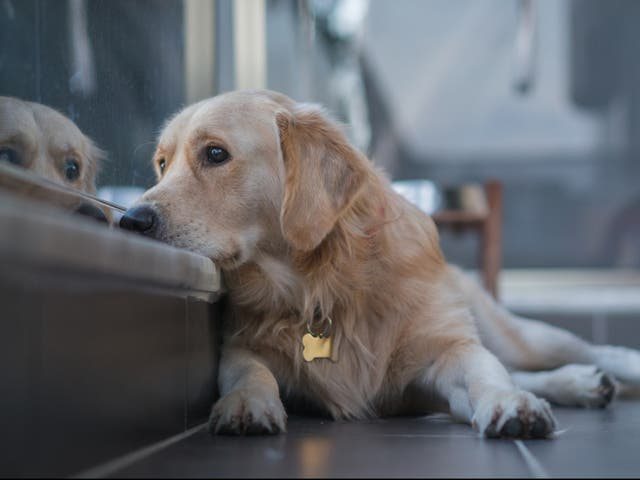 <p>Dog looks out over balcony</p>