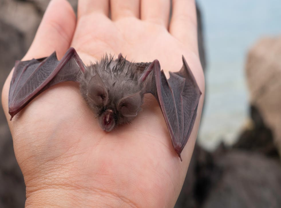 <p>The young bats' songs are not sung at the high frequencies their elders use for echolocation</p>