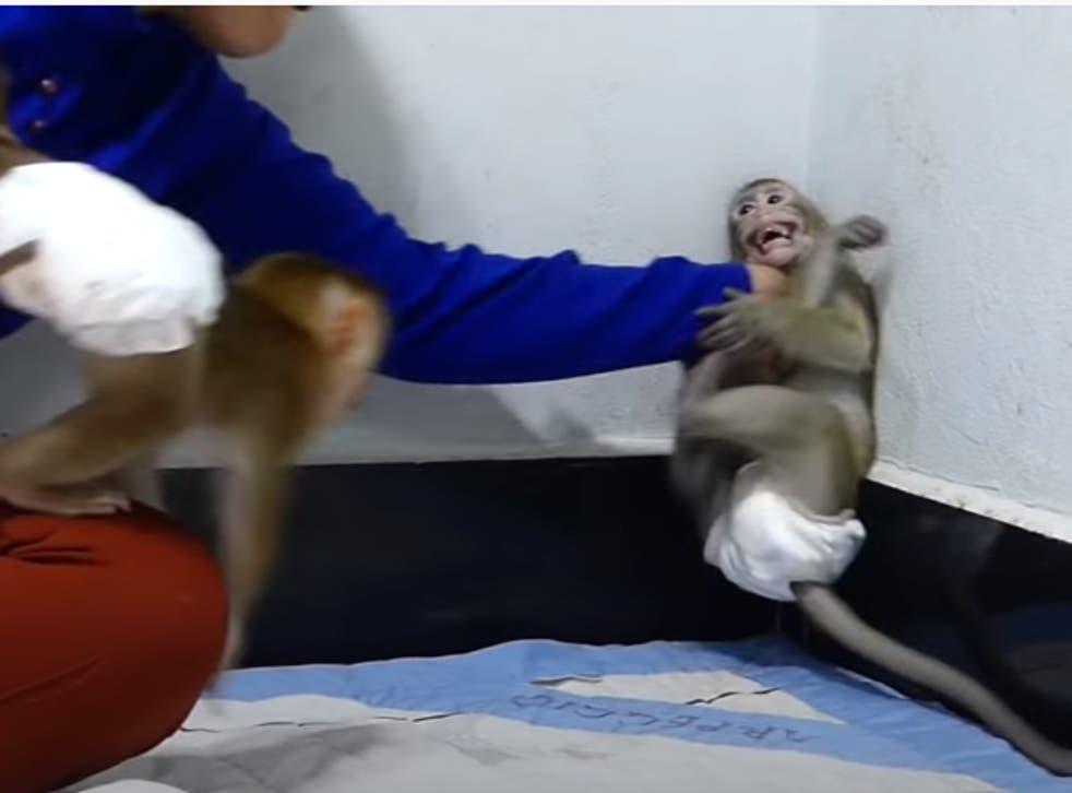 <p>Un singe terrifié est tenu par son cou dans un coin</p>