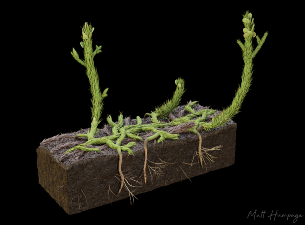 <p>Artist's reconstruction of what the plant, 'Asteroxylon mackiei', would look like</p>