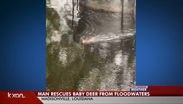 <p>Daniel Fears has taken in a baby deer that swam to his house after the flooding in Louisiana  </p>