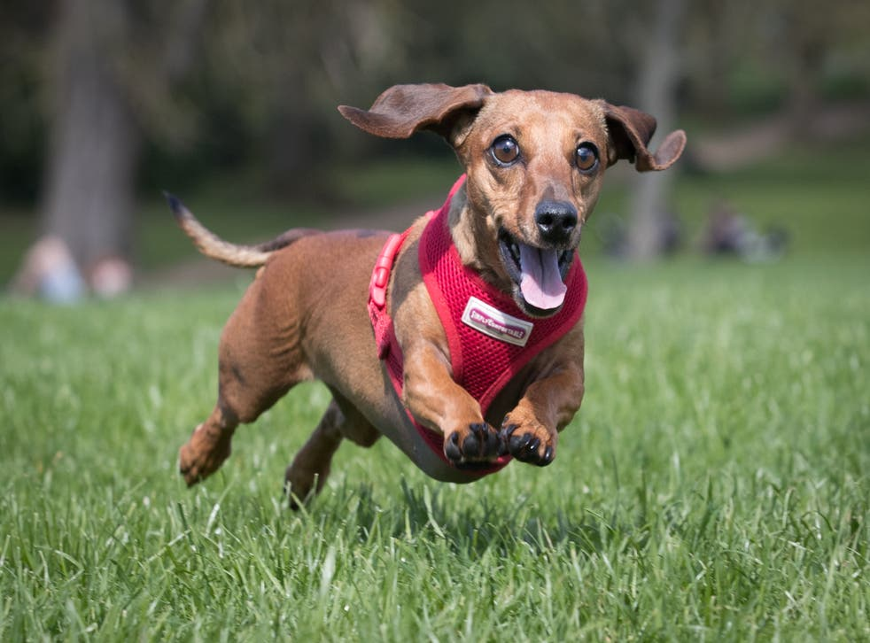 <p>The Kennel Club has tightened its rules on breeding dachshunds</p>