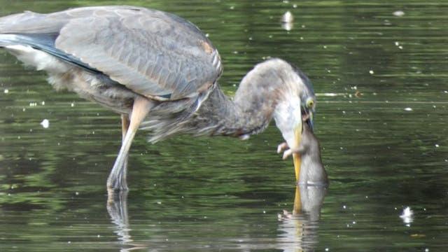 <p>Great Blue Heron eats NYC rat for breakfast</p>