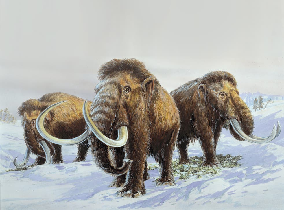 <p>Scientists have hatched a plan to bring woolly mammoths back to the Arctic – ten thousand years after they became extinct</p>