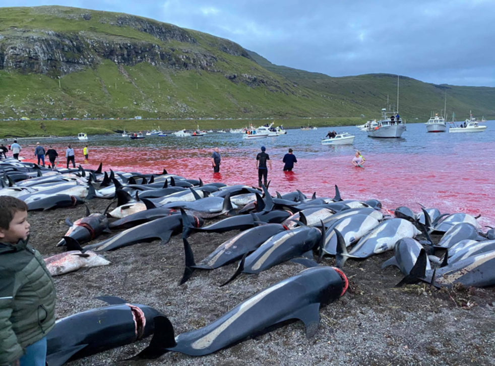<p>Carcasses of hundreds of  white-sided dolphins that have been hunted lay on a beach</p>