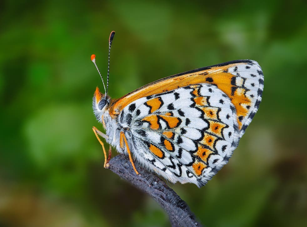 <p>Researchers introducing the Glanville fritillary butterfly (pictured) to the island of Sottunga got more than they bargained for</p>