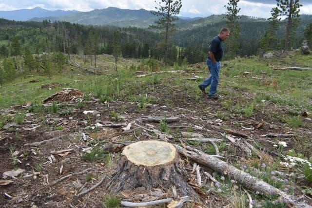 Logging Old Trees