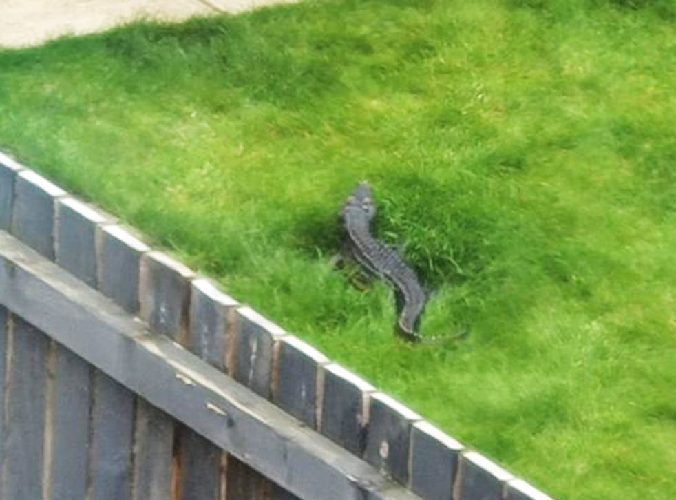 <p>Reptile reportedly seen by the River Aire </p>