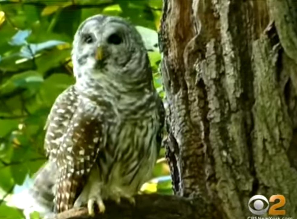 <p>Barry, a Barred owl that was beloved by New Yorkers</p>