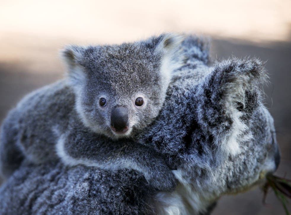 <p>Koala populations are on the decline in Australia, according to a charity</p>