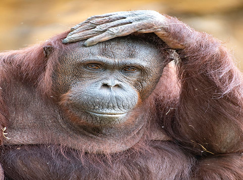 Orangutan Death