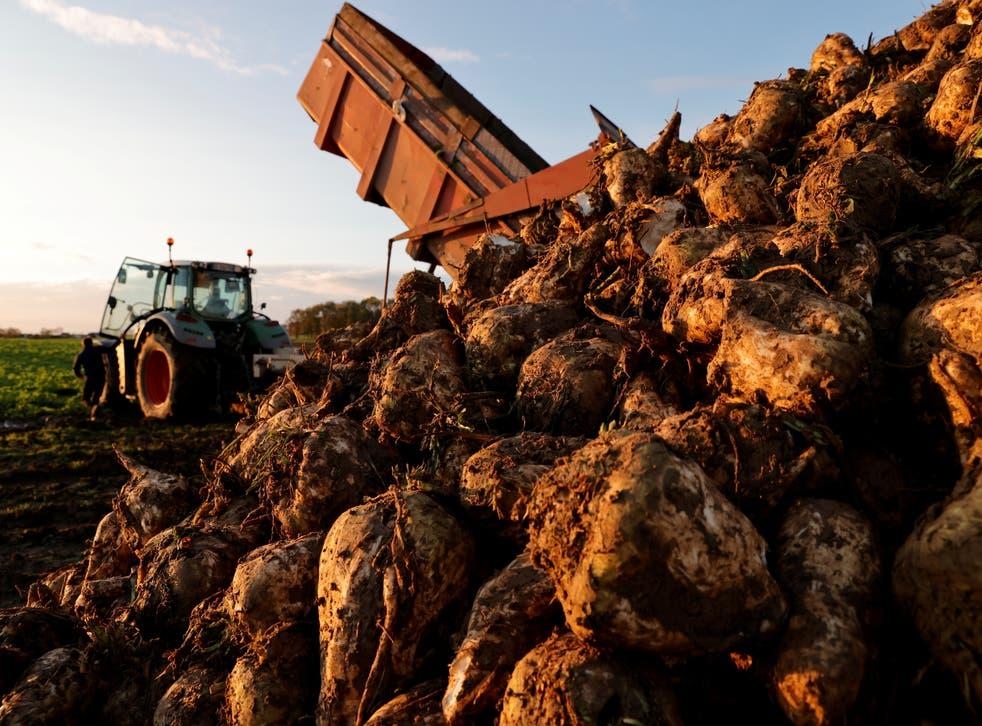 <p>A farmer harvests a sugar beet field</p>