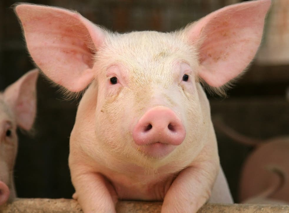 <p>Hundreds of healthy pigs are being slaughtered on farms due to a shortage of abattoir staff </p>