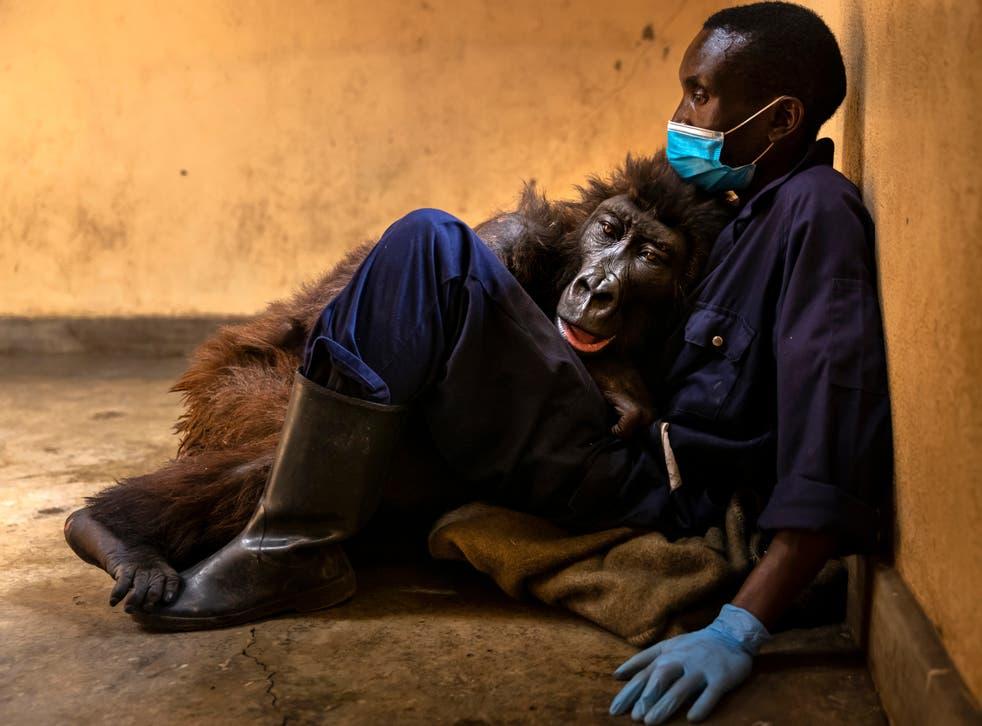 El gorila de montaña huérfano, Ndasaka, se sienta con su cuidador Eric Bauma días antes de su muerte el 26 de septiembre.