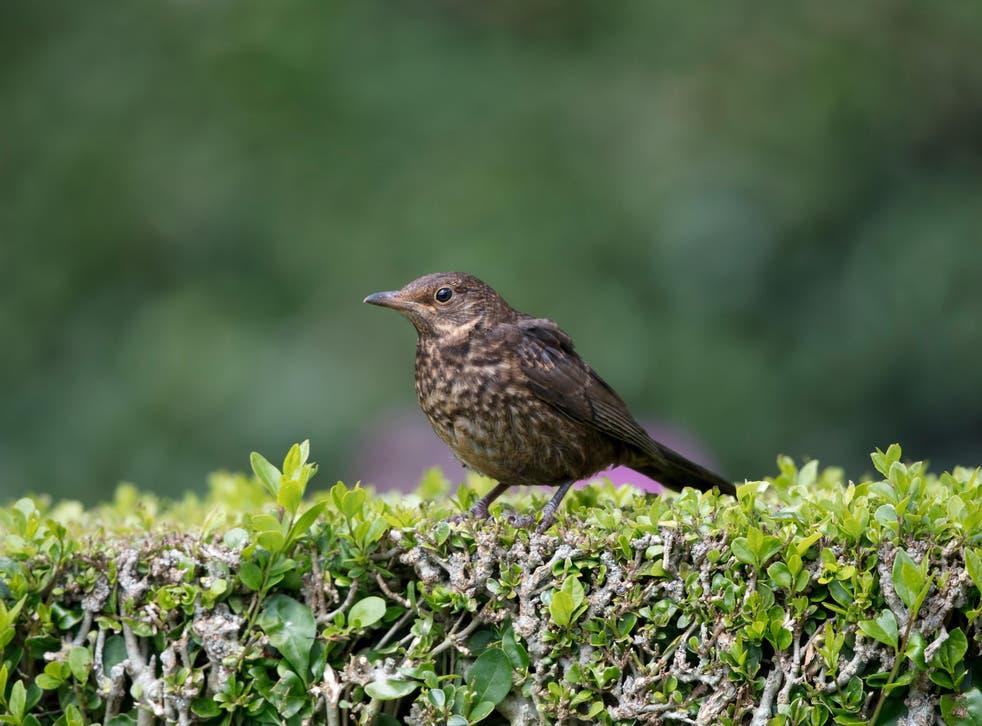 A blackbird on a garden hedge (Alamy/PA)