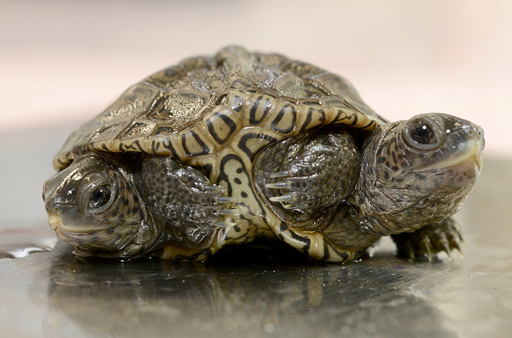 2-headed baby turtle thrives at Massachusetts animal refuge