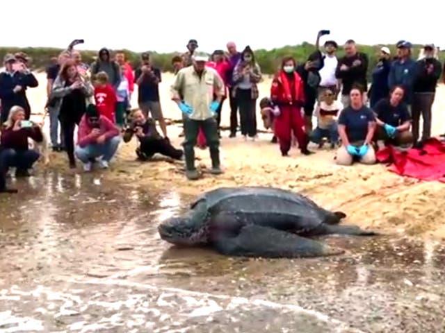 Una multitud de espectadores vitorea mientras la tortuga laúd es devuelta al Atlántico en Herring Cove, cerca de Provincetown, Massachusetts.