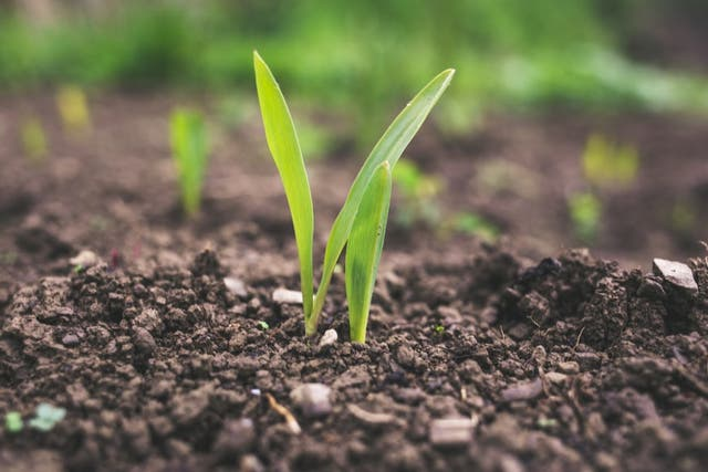 <p>Around 70% of Ugandans earn their living from farming </p>
