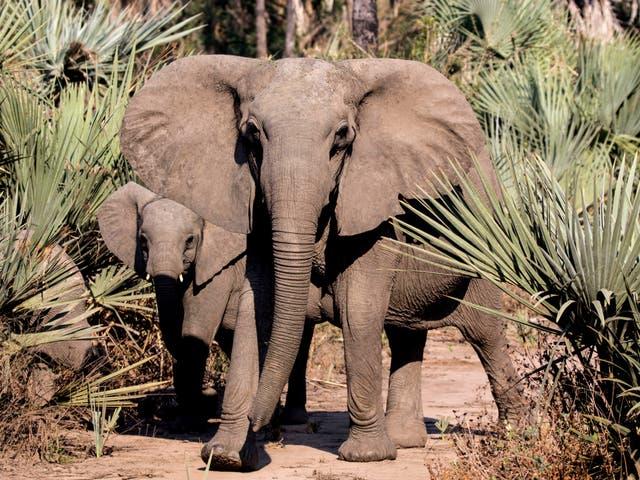 <p>Researchers studied the tuskless elephants of Gorongosa National Park</p>