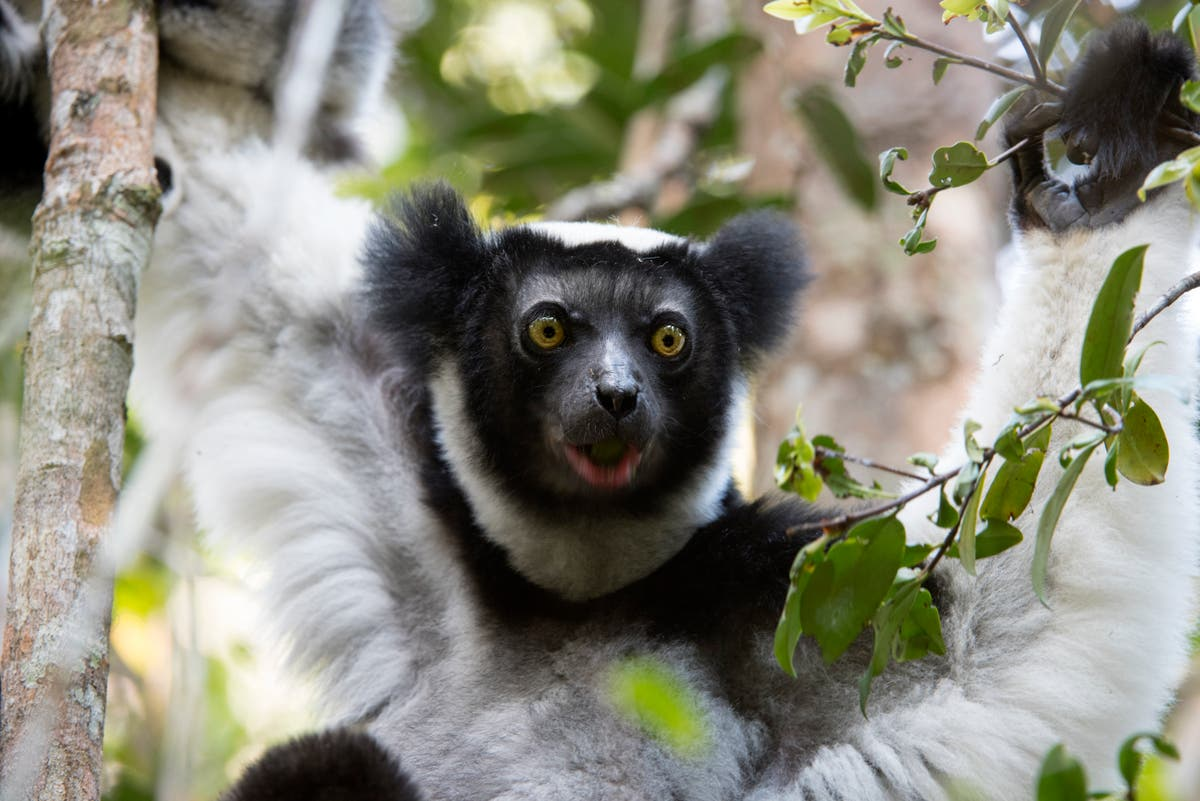 Singing lemurs have rhythm just like humans, study finds