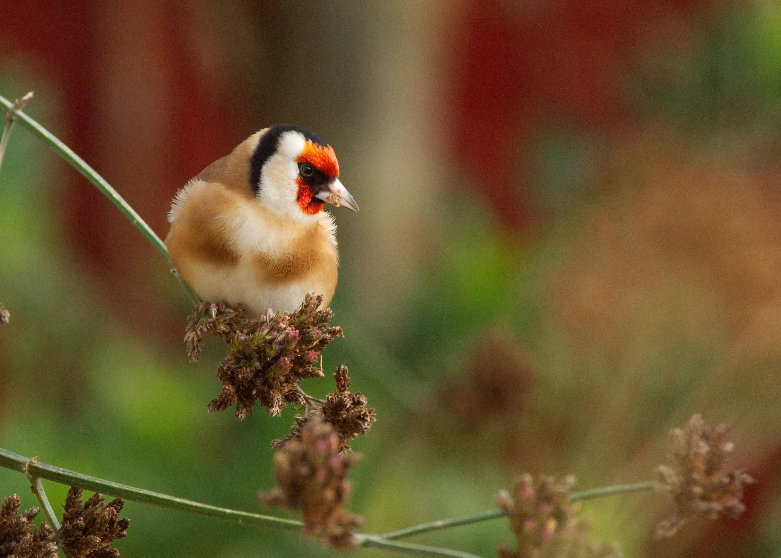 Formerly rare garden birds now booming thanks to food put out for them, report says