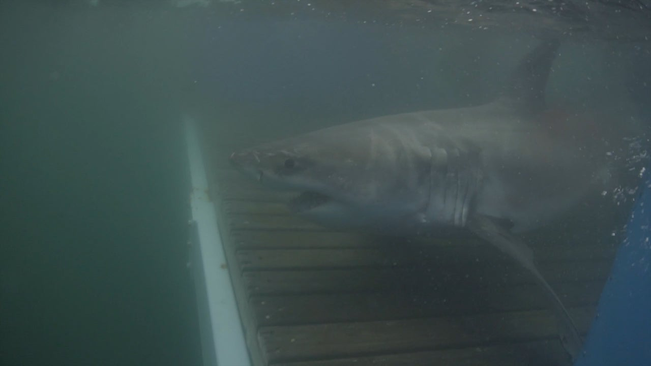 Rare great white shark spotted in Long Island Sound