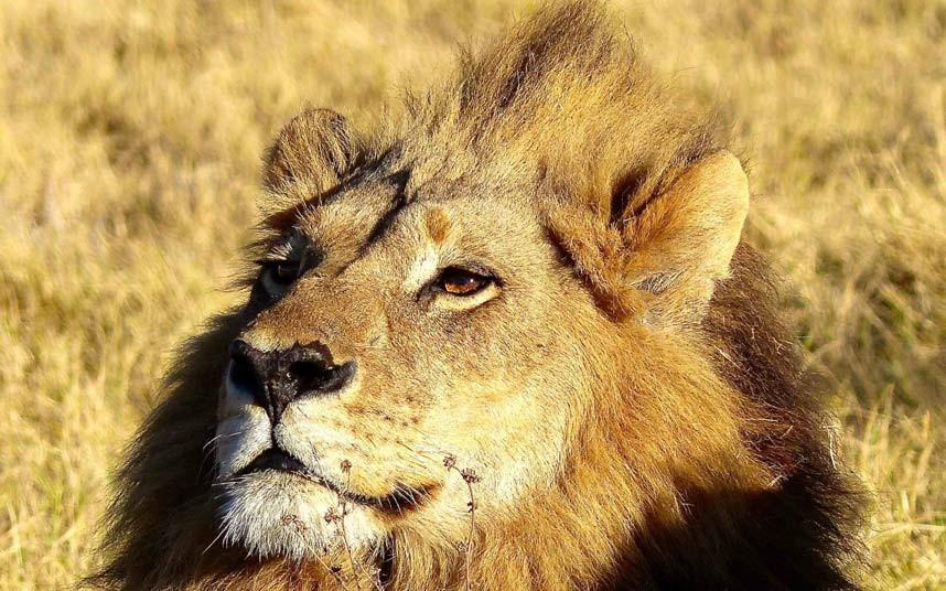 Genderfluid female lion has a mane, acts and roars like a