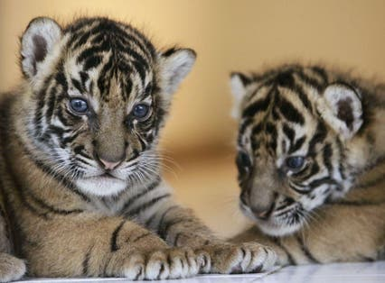 Endangered Sumatran Tiger cubs play together in West Java, Indonesia