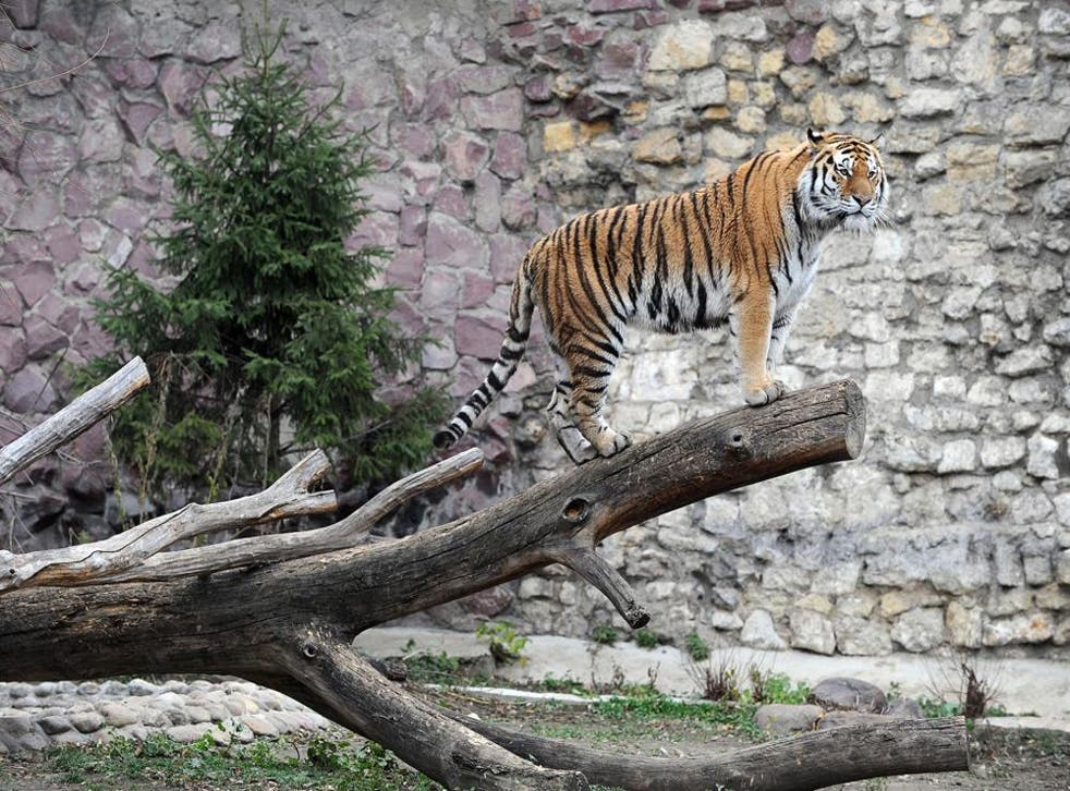A tiger in Moscow zoo