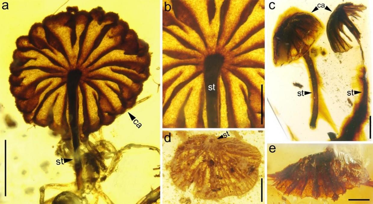 Researchers are amazed at how similar the ancient specimens are to modern mushrooms Cai et al