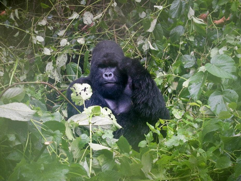 Democratic Republic of Congo plans to allow oil exploration in national parks home to endangered mountain gorillas