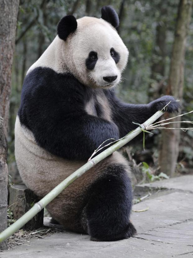 Pg-07-pandas-reuters.jpg