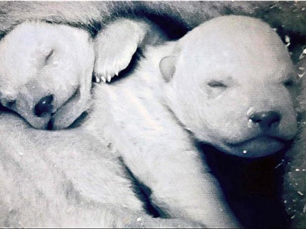 Pg-21-polar-babies-bbc.jpg