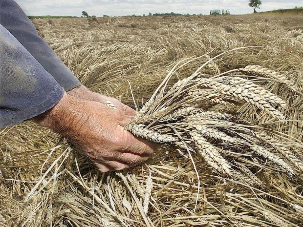 pg-10-gm-wheat-2-pa.jpg