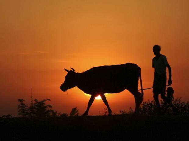 40-indiacows-AP.jpg