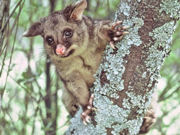 pg-26-possums-getty.jpg