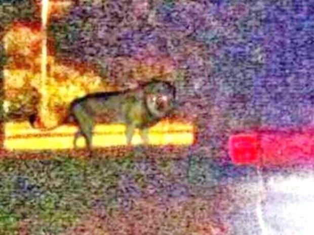 Pg-3-lion.jpg
