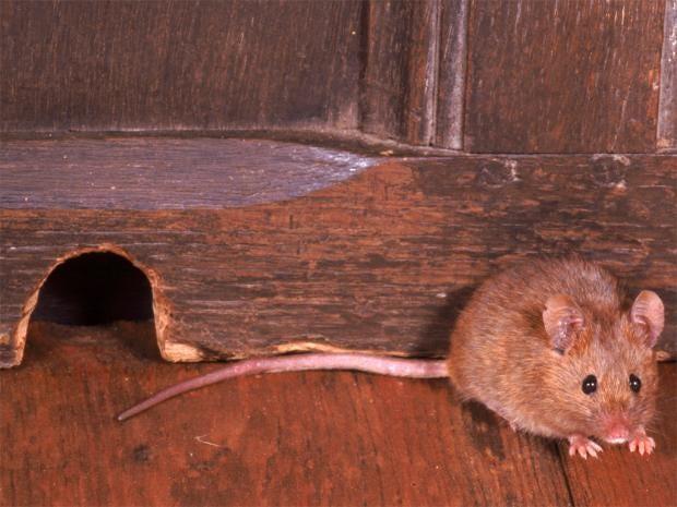 pg-24-mice-rex.jpg