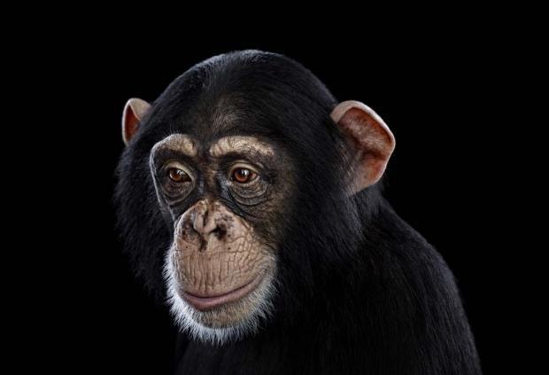 Chimpanzee12.jpg
