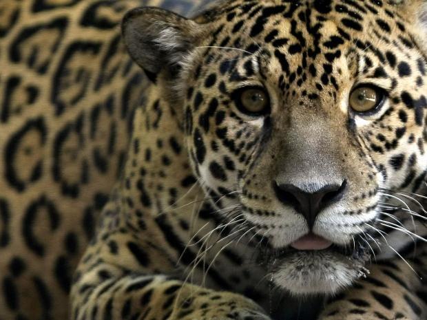 jaguar-getty.jpg