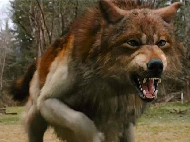 Twilight films prompt 120% increase in abandoned 'wolf ... Werewolf Twilight Jacob