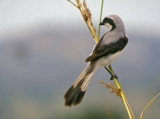 Great Grey Shrike.jpg