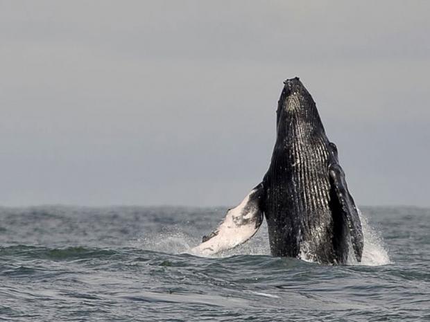 whale.afp.jpg