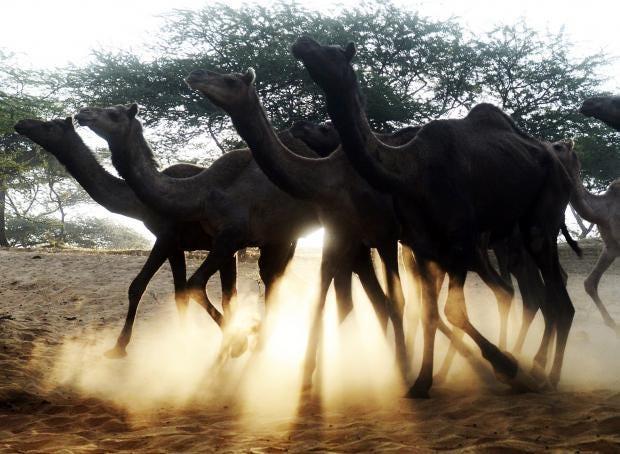 web-camels-getty.jpg